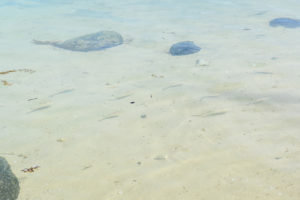 White reef fish on shallow shore water in Fiji