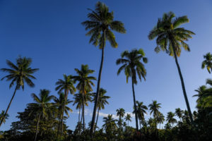 Towering palm trees over the jet blue skies of Vomo Island Fiji